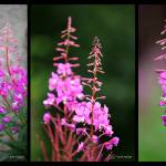 """Fireweed Series"" by RHMiller"