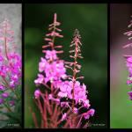 """""""Fireweed Series"""" by RHMiller"""