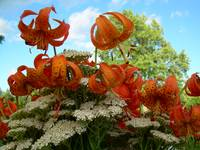 Tiger Lilies 398