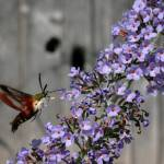 """Hummingbird Moth"" by SolacePointe"
