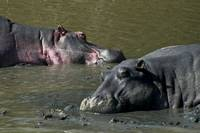 Two Sleeping Hippos