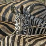 """""""Zebra Among Zebras"""" by OceanDoctor"""