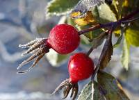 Chilly Rosehips