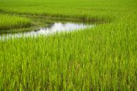 Rice Paddy Field in Siem Reap, Cambodia