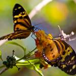 """Two butterflies feeding"" by photohouse"
