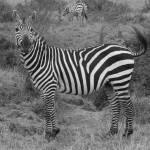 """""""zebra"""" by mylife"""