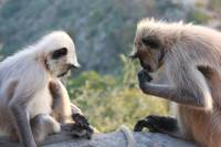 Two Indian Monkeys thinking - Is it mine or yours