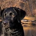 """Labrador Retriever"" by cbeharriell"