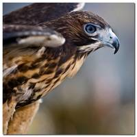 Red Tailed Hawk - 24979