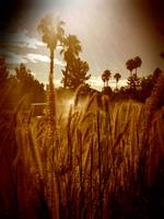 Desert Grasses and Sun