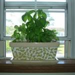"""Window Sill Basil"" by crazyabouthercats"
