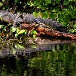 """Gator in the sun"" by robertwalkerphotography"