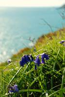 Decklers' Cliff bluebells