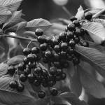 """Wild black cherries."" by Yorkney"
