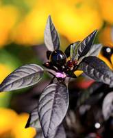 Black Pearl Peppers 0072