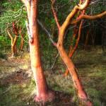 """""""Dancing Madrona Trees"""" by LydiaGaebeBishop"""