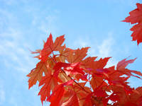 Autumn Leaves Art Prints Holidays Blue Sky Prints