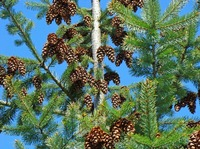 PINE CONES Art Prints Pine Trees Forest Blue Skies
