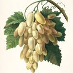 """White Grapes, Pierre-Joseph Redouté"" by lookbackart"