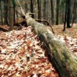 """""""Fallen Tree"""" by Norm"""
