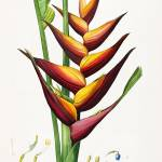 """Heliconia Bloom, Pierre-Joseph Redouté"" by lookbackart"