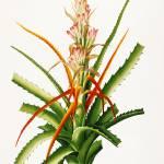 """""""Bromeliad, Pierre-Joseph Redouté"""" by lookbackart"""