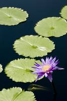 Purple Lotus Flower Amongst Lily Pads