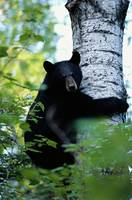 Bear Hugging a Tree