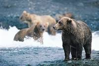 Bears Frolicking in the Water