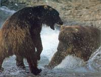 Two Bears in the Water