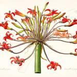 """Amaryllis Josephina, Pierre-Joseph Redout"" by lookbackart"