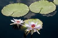Two Purple Lotus Flowers