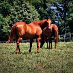 """""""Horses"""" by AngelMortonPhotography"""