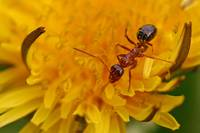 Ant on a dandelion (ANT336_3664)