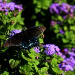 """The Pipevine Swallowtail 0104"" by rayjacque"