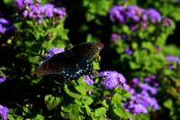 The Pipevine Swallowtail 0104