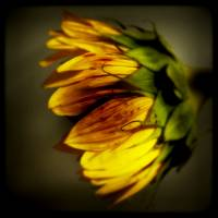 Sunflower through the Viewfinder