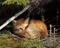 Lay Me Down To Sleep Little Red Fox