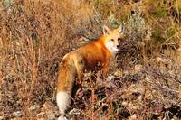 Red Fox with egg, Hebgen Lake, Montana