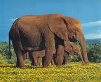 Elephants in Flower Field