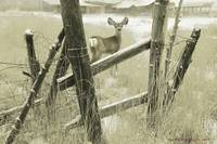 Old fence row / fawn