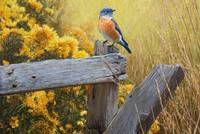 bluebird late summer