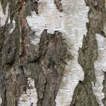 """Silver Birch Bark 1"" by katien"