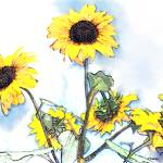 """Sunflowers II"" by Cindisart"