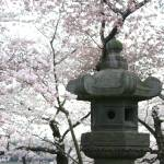 """Cherry Blossom with Japanese Lantern photo"" by dcphoto"