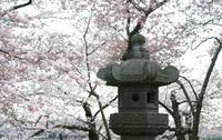 Cherry Blossom with Japanese Lantern photo