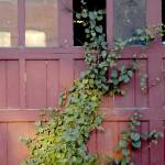 """Ivy Covered Garage"" by aicramphoto"