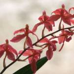 """""""Orchids of Finca Dracula"""" by JohnGSchellinger"""