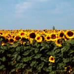 """Sunflowers"" by lchik"