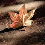 """Autumn Leaf"" by paulhood"